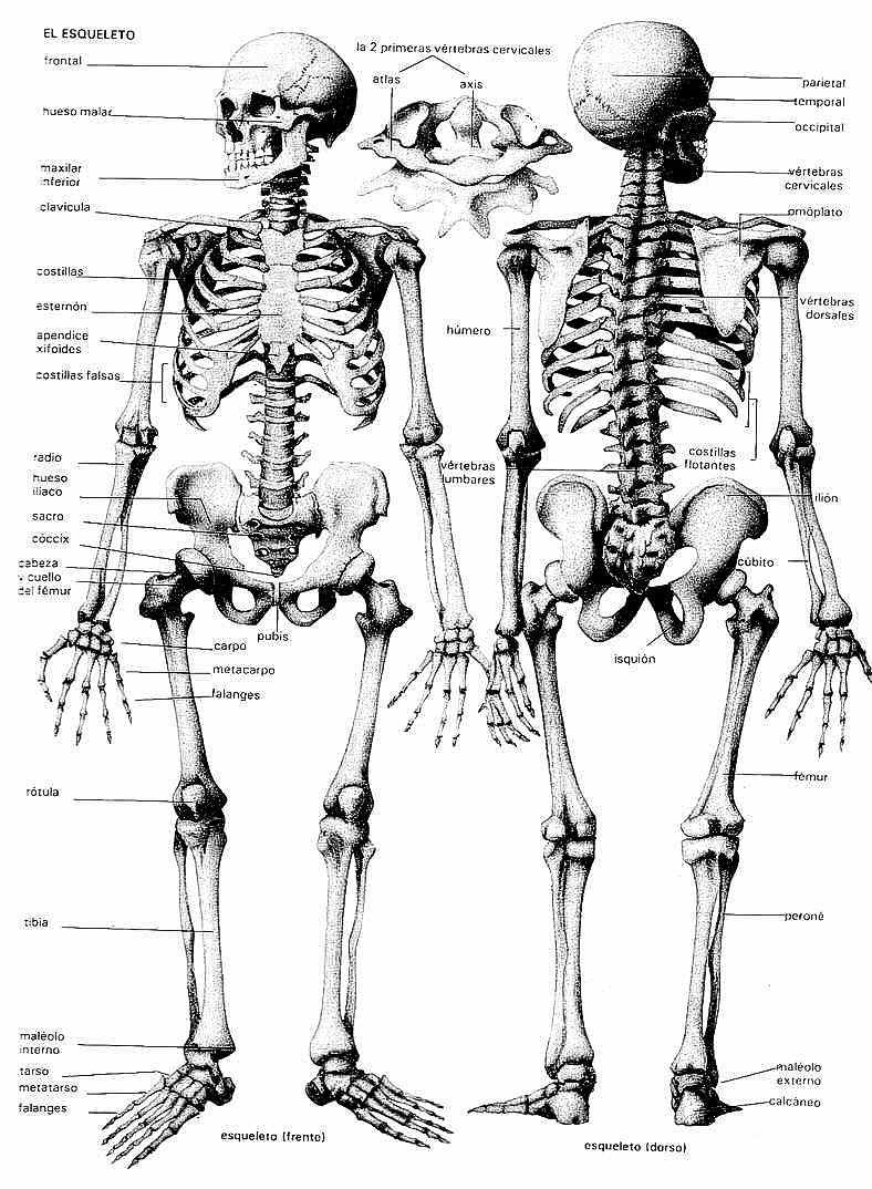 El Esqueleto Humano Para Colorear Imagui