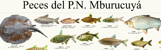 poster-peces-predelta-2015-210314-mburucuya-jpg-imagen-jpeg-2607-x-1864-pixeles-escalado-33